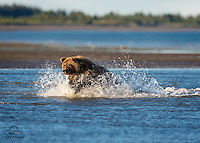 Coastal Brown Bear (Ursus arctos) in hot pursuit of salmon in the shallows of low tide on The Cook Inlet, Lake Clark National Park, Alaska.
