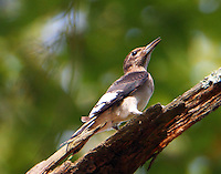 Juvenile red-headed woodpecker in October