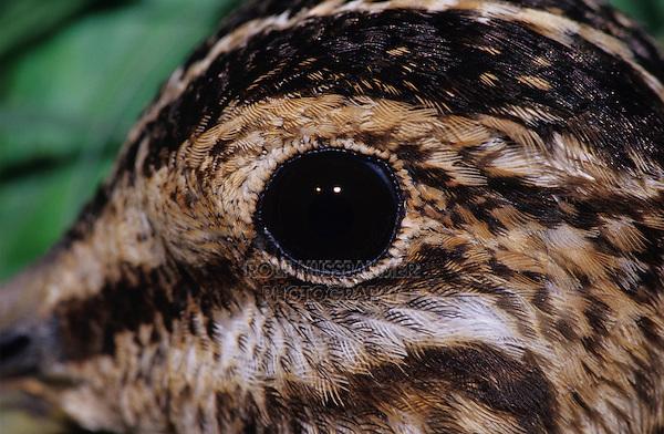 Common Snipe, Gallinago gallinago, adult close up, Welder Wildlife Refuge, Sinton, Texas, USA, March 2005