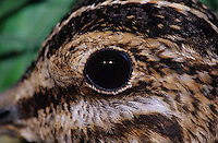 Common Snipe, Gallinago gallinago, adult close up, Welder Wildlife Refuge, Sinton, Texas, USA, March 2005