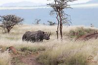 Mature Male Black Rhino, Endangered, Lewa