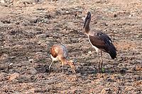 africa, Zambia, South Luangwa National Park,  stork