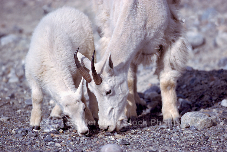 Mountain Goat Nanny and Kid (Oreamnos americanus), aka Rocky Mountain Goat, licking Salt at Mineral Lick, Kootenay National Park, BC, British Columbia, Canada