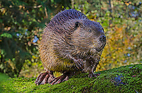 American Beaver (Castor canadensis) on large rock near pond.  Pacific Northwest.  Fall.