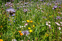 Wild flowers mix, farm margin - Lincolnshire, July