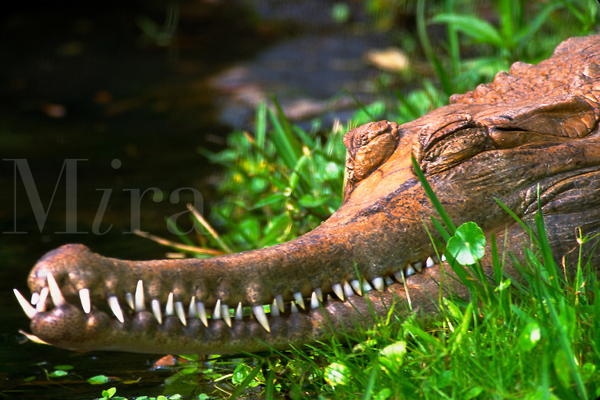 Close-up of gavial head, teeth, sleeping. Orlando Florida.