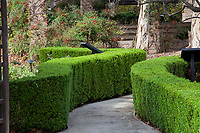 Myrtus communis 'Compacta' (Dwarf Mytle) curved and manicured hedge along pathway in Southern California demonstration garden by Western Municipal Water District, Riverside California