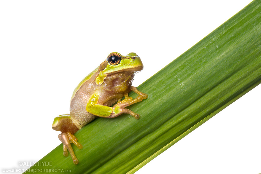 Tree Frog (Hyla orientalis) photographed in mobile field studio on a white background. Danube Delta, Romania. May.