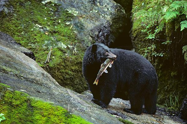 Black bear (Ursus americanus) with salmon, Southeast Alaska, summer.