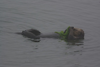 Sea Otter feeds on moss wall floating on its back in California's Moss Landing.