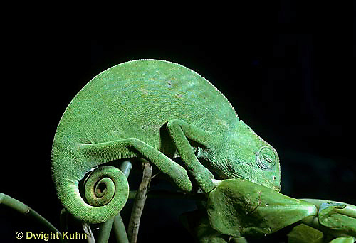 CH01-001f  African Chameleon - showing curled tail, resting on branch - Chameleo senegalensis