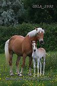 Bob, ANIMALS, REALISTISCHE TIERE, ANIMALES REALISTICOS, horses, photos+++++,GBLA3992,#a#, EVERYDAY