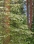 Yosemite National Park, Ca<br /> Flowering pacific dogwood (Cornus florida) against ponderosa pine trunks in Yosemite Valley