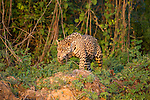 Wild male Jaguar (Panthera onca palustris) stalking / hunting along the bank of the Cuiaba River in late afternoon sun light. Northern Pantanal, Brazil.