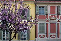 Cremona.Albero di Giuda in fiore...