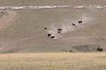 A samll herd of horses run downhill and kick up dust as they finish their 3-day journey to summer pasture in Three Forks, Montana during the 2010 annual Horse Roundup.