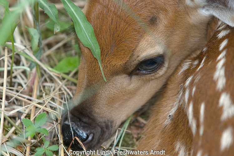 White-tailed deer (Odocoileus virginianus) fawn close-up.