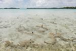 Blue Lagoon, Rangiroa Atoll, Tuamotu Archipelago, French Polynesia; juvenile blacktip reef sharks swimming in the shallow waters of the blue lagoon
