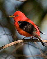 Scarlet Tanager, Texas
