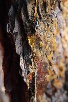 A close view by macro of a fibre of natural resin that climbs down the trunk of a pine, on the background of its bark (Rome, 2020).<br /> <br /> Una vista da vicino con il macro ad un filamento di resina che scende lungo il tronco di un pino, sullo sfondo della sua corteccia (Roma, 2020).