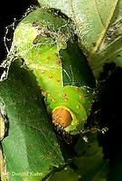 LE41-028c  Polyphemus Moth - caterpillar making cocoon - Antheraea polyphemus