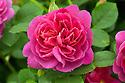 Rosa Princess Anne ('Auskitchen'). A modern shrub rose first introduced by David Austin in 2010.