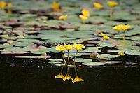Gewöhnliche Seekanne, Europäische Seekanne, Nymphoides peltata, Water Fringe, Yellow Floating Heart, Schwimmblattpflanze