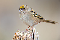 Immature Golden-crowned Sparrow (1Zonotrichia atricapilla). Deschutes National Forest, Oregon. September.