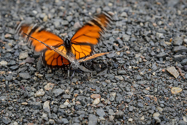 Western Monarch Butterflies (Danaus plexippus) preparing to mate--the male will often drive the female to the ground where once he gets the right hold/position then he will fly both of them up into a tree where they consumate the union.