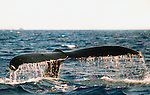 A large Humpback Whale exposes it's massive tail off of The Maui coastline in the AuAu Channel on February 22,1995.© Debbie VanStory/RockinExposures.