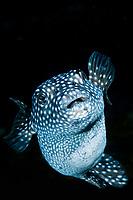 Puffer fish, Cocos island, Costa Rica, Pacific Ocean
