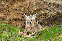 Wild Coyotes (Canis latrans)--mother snarling at bothersome young pups.  Looking for a few minutes rest (she has already fed pups) mother is not anxious to be mobbed by her pups.    Western U.S., June.