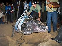 researcher Dr. Scott Eckert weighs a nesting leatherback sea turtle, Dermochelys coriacea, Dominica, Caribbean, Atlantic