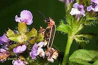 1C24-759z  Pyralis Firefly - Lightning Bug - Male - Photinus spp.
