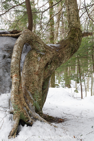 Exposed tree roots of a birch tree along a walking path at the Flume Gorge in Franconia Notch State Park of New Hampshire during the winter months.