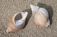 Wellhornschnecke, Wellhorn-Schnecke, Kinkhorn, leere Schale im Angespül, Spülsaum, Buccinum undatum, superior buccinum, common whelk
