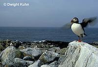 MC23-014z  Atlantic Puffin - flapping wings at Machias Seal Island, Bay of Fundy - Fratercula arctica