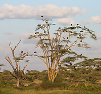 A large flock of Marabou storks hangs out in the Serengeti.