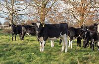 Dairy heifers, Oxford, Oxfordshire.
