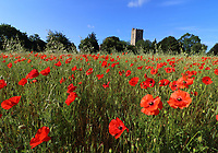 A veritable red carpet of Wild Poppies in the early morning sunshine in a field behind St Owen's churchyard in Bromham, near Bedford, England on Monday June 22nd 2020<br /> <br /> Photo by Keith Mayhew