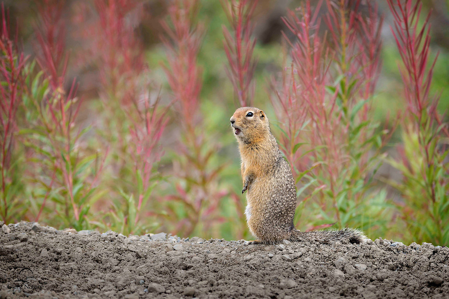 Ground squirrel pauses in front of greenery and fireweed in bloom to alert his buddies to the presence of a couple photographers near the road.  Denali National Park, Alaska.