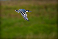 Male Belted Kingfisher in flight- wings down