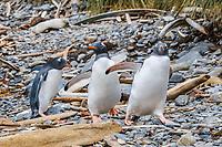 gentoo penguin, Pygoscelis papua, at Godthul, South Georgia, South Atlantic Ocean