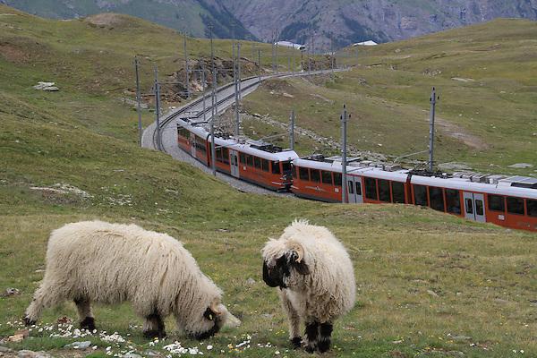 Switzerland, Matterhorn.  <br /> Not quite as cute as golden retriever puppies, but close. Sheep complement the Gornergrat Train ascending from idyllic Zermatt, Switzerland.