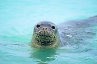 Hawaiian monk seal, Neomonachus schauinslandi, Midway Island, Papahanaumokuakea Marine National Monument, Northwestern Hawaiian Islands, Hawaii, USA, Pacific Ocean