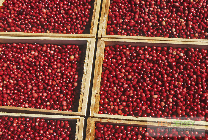 Ripe Cranberries, New Jersey