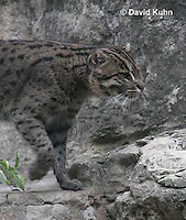 0907-0801  Fishing Cat, Prionailurus viverrinus  © David Kuhn/Dwight Kuhn Photography.