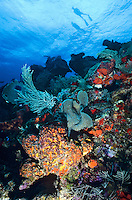 Snorkelers on the surface over a coral reef<br /> St. Croix<br /> U.S. Virgin Islands
