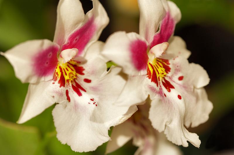 Orchid. Odtna> Vesta 'Charm'