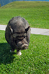 Deutschland, Bayern, Oberbayern, Landkreis Miesbach, bei Bayrischzell: Haengebauchschwein am Bergcafé Siglhof | Germany, Upper Bavaria, near Bayrischzell: pot-bellied pig at mountain Café Siglhof